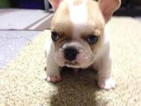 We have 1 male french bulldog puppy that is available