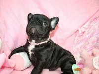Quality French Bulldog Puppies Available For Sale.