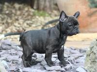 French Bulldog Puppies Available - AKC registered. 2