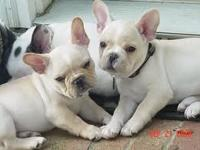 Adorable French Bulldog puppies now available for