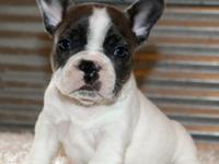 adorable french bulldog puppy for sale.8weeks and ready