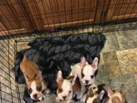 We have four French Bulldog X Boston Terrier puppies