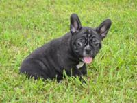 Adorable Frenchton puppies for sale! We are located