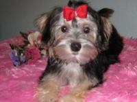Paige Is a lovely Morkie girl. She has a smooth long