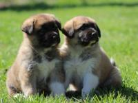 I have 2 Great Pyrenees/ German Shepherd cross puppies.