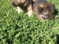 3 German Shepherd Puppies 3 Female Both Parents German