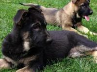 Hello, we have German Shepherd Puppies for sale! A