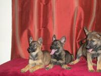 GERMAN SHEPHERD PUPPIES (price reduced!!!!!!) EXCELLENT