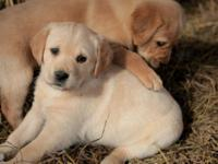 These alluring Goldador young puppies are a cross of