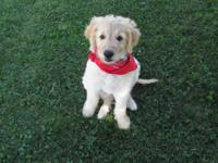 Adorable 9 week old golden doodle puppy! She is family