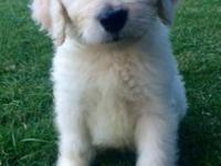 Adorable F1 goldendoodle puppies and Double Doodle