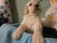Charming pleasant gold doodle new puppies! Still have