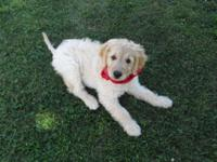 Beautiful 9 Week old Goldendoodle puppy is now ready