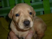 NEW LITTER OF GOLDEN LABRADOR RETRIEVER PUPPIES !!
