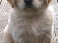 Adorable Golden Retriever puppies available on june