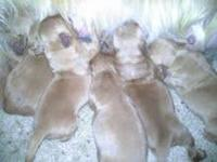 AKC registered Golden Retriever puppies. Ready to find