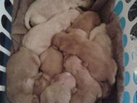 Our Samantha has actually whelped 9 little golden