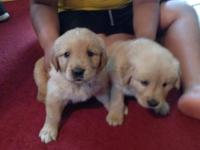 10 adorable golden retriever mix puppies! Only 4 left!