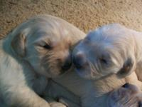 Charming AKC golden retriever young puppies. Presently