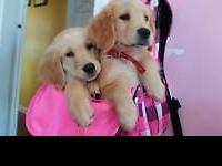 I have 2 adorable Golden retriever puppies! They are 10