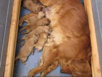 Beautiful litter of adorable golden retriever puppies,