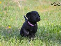 Adorable pure black Golden Shepherd puppies available