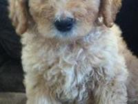 Super sweet 2nd generation Apricot Goldendoodle young