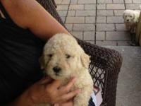Adorable mini to medium size F1B Goldendoodle puppy.