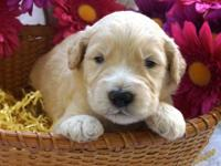 We have beautiful well bred Goldendoodle puppies