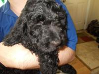Adorable Goldendoodle Puppies 11 weeks old, they are