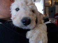 Adorable Goldendoodle Puppies 9 weeks old, they are