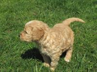 These adorable Goldendoodle puppies were born March