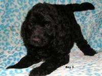 Adorable Goldendoodle puppies born July, 31 2012. They