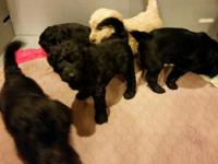 We have 7 beautiful F1 Goldendoodle puppies. Both