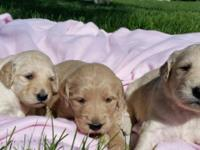 We have four adorable golden doodle puppies that will