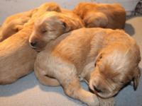Goldendoodle puppies. Parents AKC Registered and on