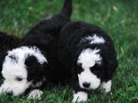 F1B Standard Sized Goldendoodle puppies. Very sweet and
