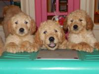 Goldendoodle Puppies for Sale - 2 Adorable Females
