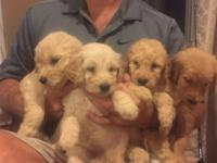 F2 Goldendoodle puppies we are now accepting deposits