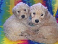 I have 7 beautiful golden doodles that will be ready