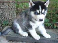 Animal Type: Dogs Breed: Siberian Husky We have 1