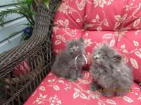 I have lovely gray Persian and Blue Point Himalayan