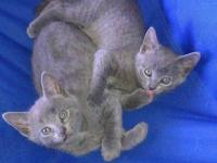 8 weeks old gray male and female need homes. They have