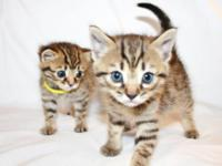 Adorable Half-Bengal kittens were born on February