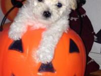 Breed- Maltipoo (Maltese & Teacup Poodle Mix) Age-8wks