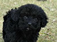 Havanese are incredibly intelligent and easy to train,