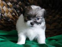 ADORABLE, NON-SHEDDING Havanese-Japanese Chin puppies.