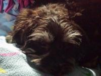 Havanese mix puppy. Non shedding. Puppy is spayed with