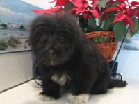 Beautiful Havanese puppies, ready for their forever