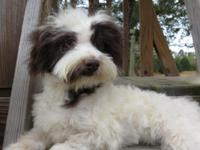 We have AKC Havanese puppies, ready for good homes! We